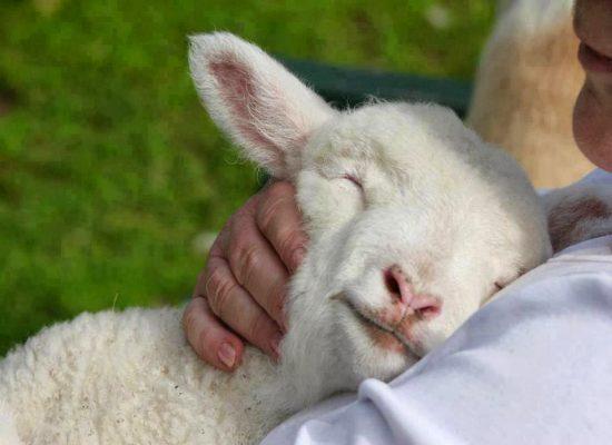 ovelha-1974276-6723013