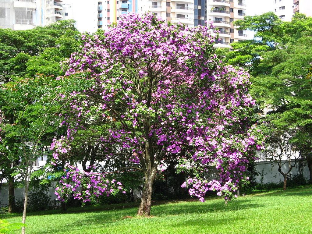 Planta manacá-da-serra